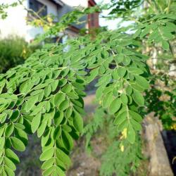 china Bulk Organic Moringa Leaf Extract Powder Natural Raw Material Anti-bacteria Widely Used manufacturer