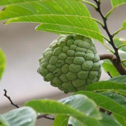 중국  영양 보조 식품 가시 여지 잎 분말 Anona Muricata L 자연 스트레이트 추출 분말 공급