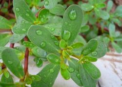 Çin Sağlık için bitkisel semizotu Extract Powder % 100 Doğal Uygun geç
