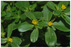 china Natural Portulaca Oleracea Extract Powder 5% Flavonoids UV Applied in Foods Field supplier